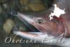 オホーツク枝幸の海鱒・鮭ポイント